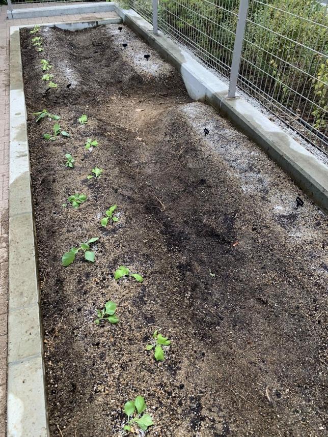 家庭菜園の苗植え付け